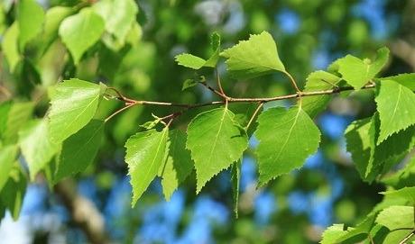 Лечение пояснично-крестцового радикулита березовыми листьями