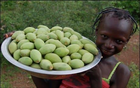 Африканское дерево ши плоды