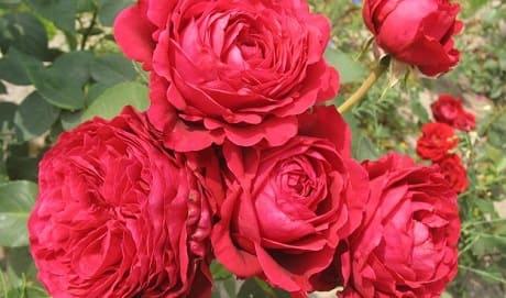 Масло дамасской розы