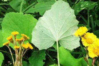 Лечебные свойства травы мать-и-мачехи