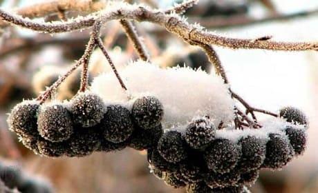 Черноплодная рябина замороженная