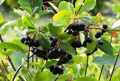 Полезные свойства черноплодки