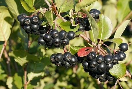 Свойства и противопоказания черноплодной рябины