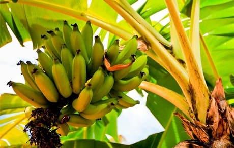 Сколько можно есть бананов