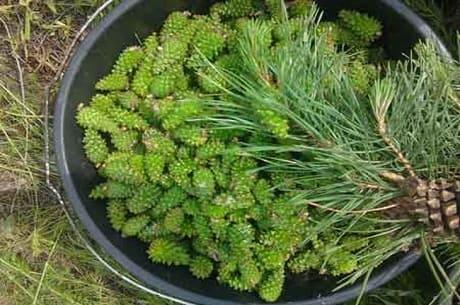 Лечение зелеными сосновыми шишками