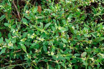 Лечебные свойства травы спорыш