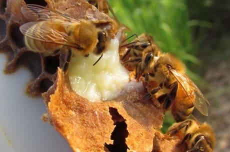 Полезные свойства пчелиного молочка