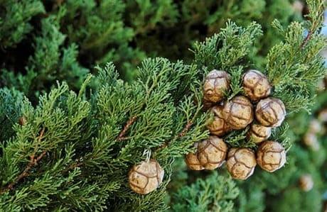 Растение кипарис