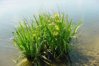 Применение корней аира болотного