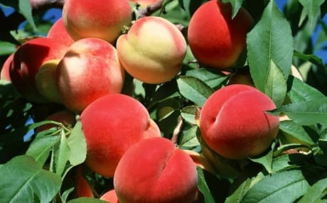 Чем полезны персики для здоровья