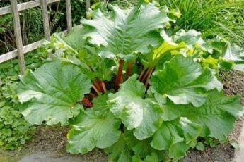 Как выглядит растение ревень