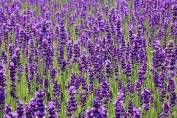 Цветок лаванда свойства