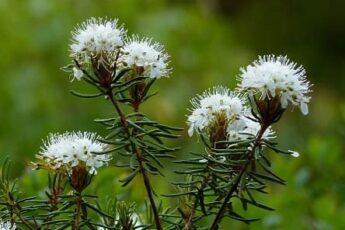 Багульник болотный лечебные свойства